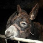 zu sehen ist ein Esel aus der lebenden Krippe von Schaefer Marc